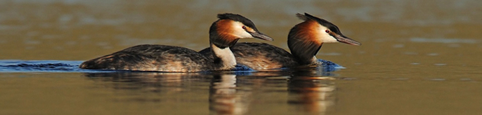 8 - Grebes on Penwhapple reservoir