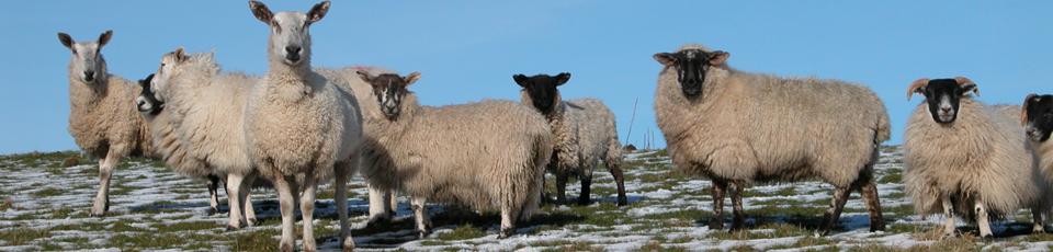 11 - Balligmorrie Sheep's view